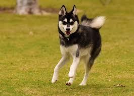 alaskan klee kai size alaskan klee kai dog breed information pictures dogtime