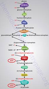 Glycolysis Flow Chart Glycolysis Process Of Glucose Utilization And Homeostasis