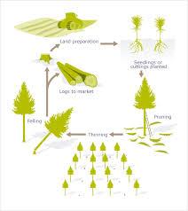 Plant Life Cycle Flow Chart Life Cycle Of A Managed Radiata Pine Radiata Pine Te Ara