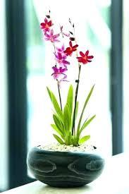 great office plants. Great Office Plants Flowering Orchid  In Black Wooden On Reception Desk . E