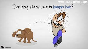 can your dogs fleas live in your hair