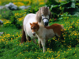 best images about animals ponies mountain moorland breeds on 17 best images about animals ponies mountain moorland breeds baroque survival and the reader