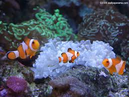 fish tank wallpaper clown aquarium free backgrounds images pictures  wallpapers . fish tank wallpaper ...