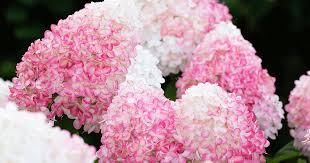 Hydrangea paniculata Living <b>Pink</b> & <b>Rose</b>®