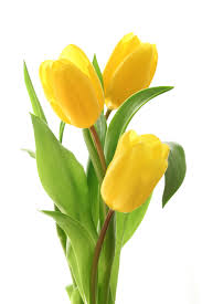 Картинки по запросу клипарт тюльпаны