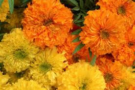 file photo por flower vendors say marigold s increase as the day of the dead