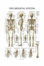 Skeletal System Anatomical Chart Laminated Human Skeleton Anatomy Poster Ebay