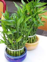 Lucky bamboo (Dracaena Sanderiana) Dracaena sanderiana_mini