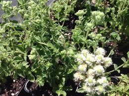 Origanum onites | Cretan Oregano – Morningsun Herb Farm