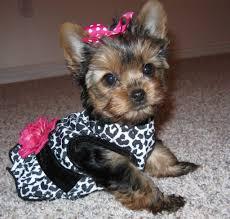 yorkiepoo puppy pictures