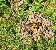 ground dwelling bees have you seen these bees flying around your lawn spring green blog