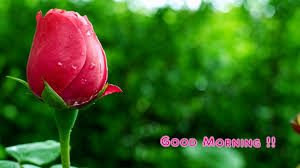 pink rose hd collection to wish good morning to love