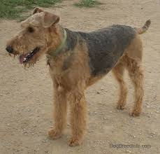 Airedale Weight Chart Airedale Terrier Dog Breed Information And Pictures