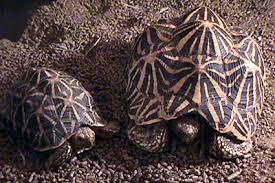 Leopard Tortoise Size Chart Tortoise Trust Web Star Tortoise Basics