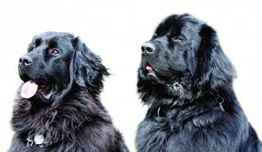 Jaký Je Novofundlandský Pes část 2 Ifaunacz