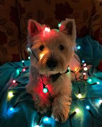 Animals In Christmas Lights Archie In Christmas Lights Christmas Animals Christmas