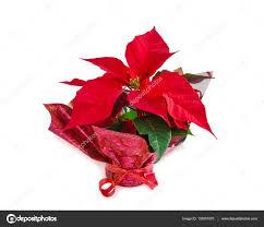 Weihnachten Symbol Schönen Roten Weihnachtsstern Blume Auf