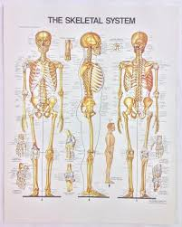 Vintage The Anatomical Chart Series Book Print 1988 The Skeletal System Ebay
