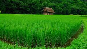 grass field background. Nature Landscape Green Water Trees House Forest Grass Field Plants Rice Paddy Wallpaper And Background