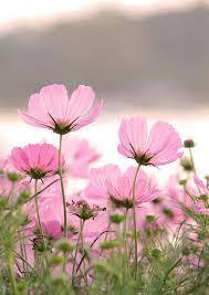 landscape pink flower pink flower photopink flower wallpapers