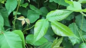 Leaves of three, let them be': What you should know about poison ivy | CTV  News