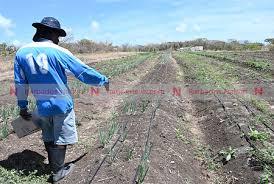 Thieves raid farmers' crops – NationNews Barbados — nationnews.com
