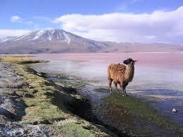 File:Llama en la laguna Colorada Potosí Bolivia.jpg - Wikimedia Commons
