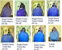 Budgie Breeding Chart Colors Bing Images Budgies