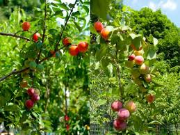 The Fruit Salad Tree  BellareflectionsFruit Salad Trees Usa