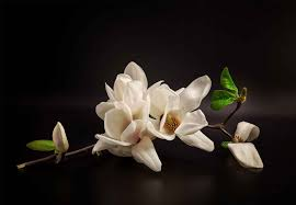 Magnolia Fotobehang Behang Bestel Nu Op Europostersnl