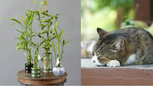 lucky bamboo a popular indoor plant during cny is poisonous to dogs cats mothership sg