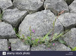 Plants Growing Between Paving Stones Stock Photo Royalty Free