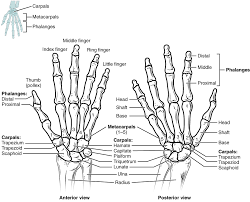 8 2 Bones Of The Upper Limb Anatomy And Physiology
