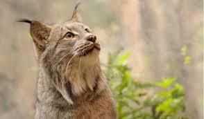 The Wild Cats Of North America Worldatlas Com
