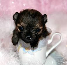 free teacup pomeranian puppies. Beautiful Teacup Intended Free Teacup Pomeranian Puppies