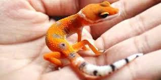 Leopard Gecko Size Chart How Big Do Leopard Geckos Get Full Grown Geckos Faunalicious