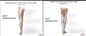 Lec 12 Loco Path Of Great And Small Saphenous Veins Diagram