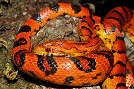 Image result for fire snakes