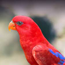 Red Lory Personality, Food & Care – Pet Birds by Lafeber Co.
