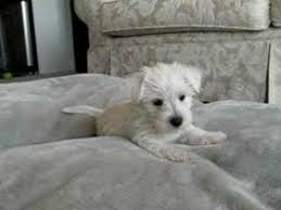 white terrier mix puppies. Contemporary Mix In White Terrier Mix Puppies P