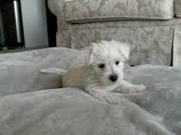 west highland white terrier maltese mix. Brilliant Maltese With West Highland White Terrier Maltese Mix E