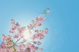 Wallpaper flower Wallpaper 53627 Low Angle Of Pink Flowering Tree Unsplash Download Flower Wallpapers hd Unsplash