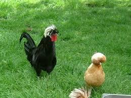 Hollands Kuifhoen Wat Uit Deze Kleuren Kippenforumnl
