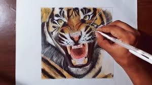 color tiger drawing.  Tiger Drawing A Tiger  Animal Drawing Series 4 Prismacolor Pencils YouTube Throughout Color A