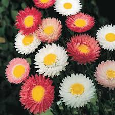 Daisy Paper Flower Paper Daisy Giant Double T T Seeds