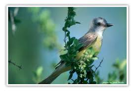 Image result for kingbirds