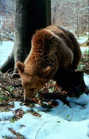 Grizzly Bear Classification Chart Ursus Arctos Brown Bear