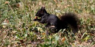 Grey Squirrel Age Chart Black Squirrels In Michigan Popping Up In More Places