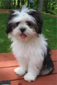 Image result for lhasa cute dog images