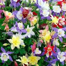 this easy to grow columbine seed mix is a wonderful addition to the summer border growing readily from columbine flower seed this columbine